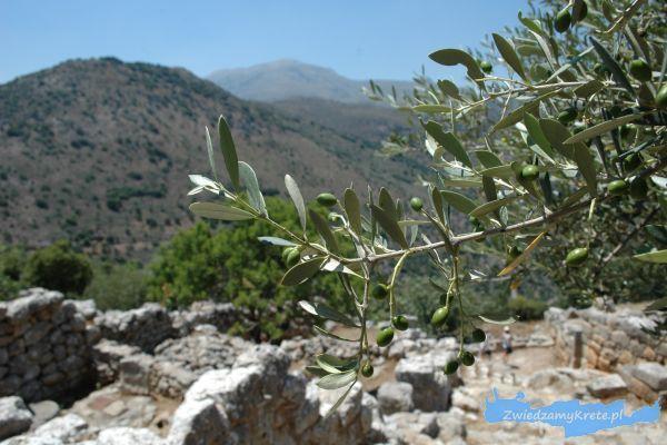 Rośliny na Krecie: oliwki