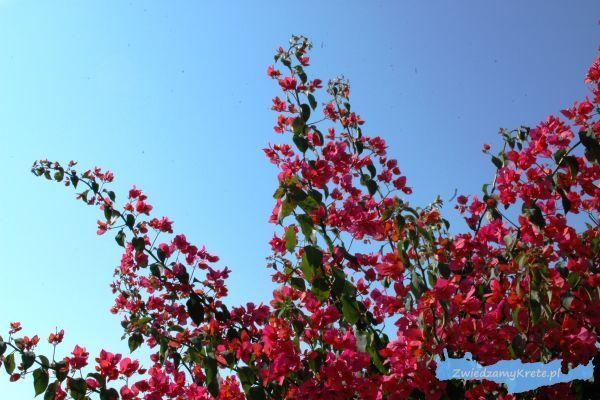 Rośliny na Krecie: Bugenwilla