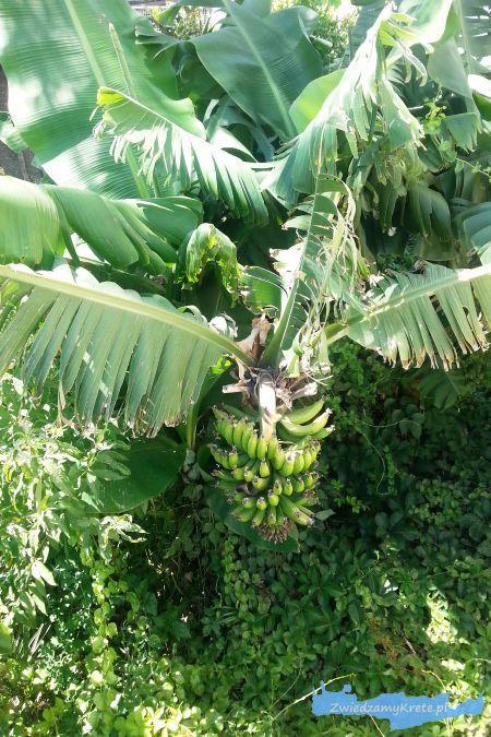 Rośliny na Krecie: Bananowiec