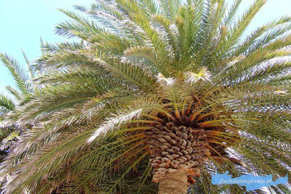 Rośliny na Krecie: daktylowiec